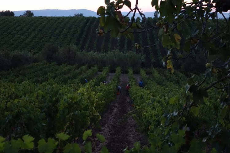 Vineyards that produce Janare Falanghina by the La Guardiense cooperative