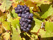 Pinot Nero (Pinot Noir) and Chardonnay (together with Pinot Bianco) are the main varieties
