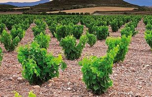 Typical bush vine Garnacha vineyard in Borja
