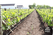 Babylonstoren-down-the-vineyard