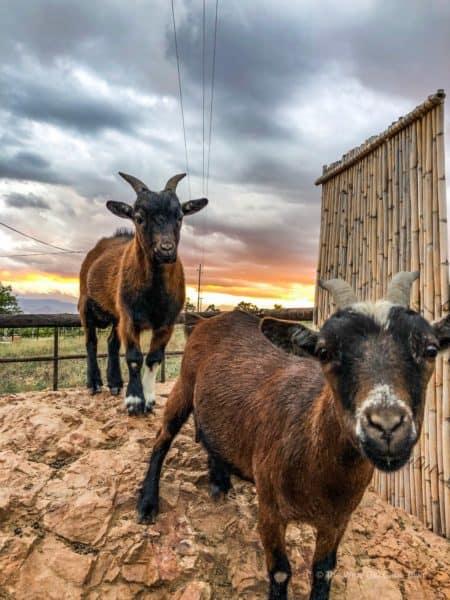 Kranskop Goats