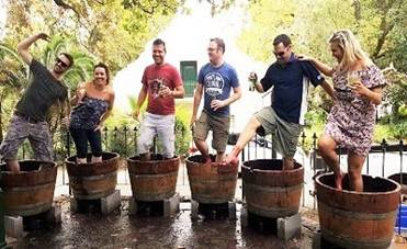 Muratie Wines Harvest Festival grape stomping