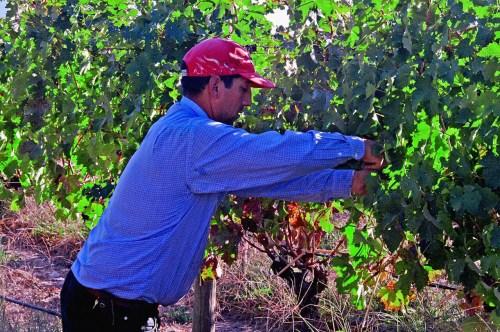 Handpicking Grapes at Valdivieso