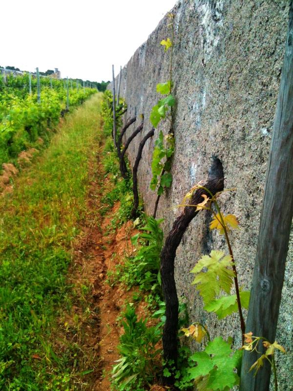 shy vines?
