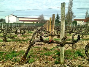close up of the vines in Clos St. Hilaire
