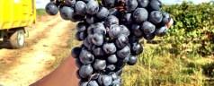 A harvest time visit to Bodegas Ochoa in Navarra