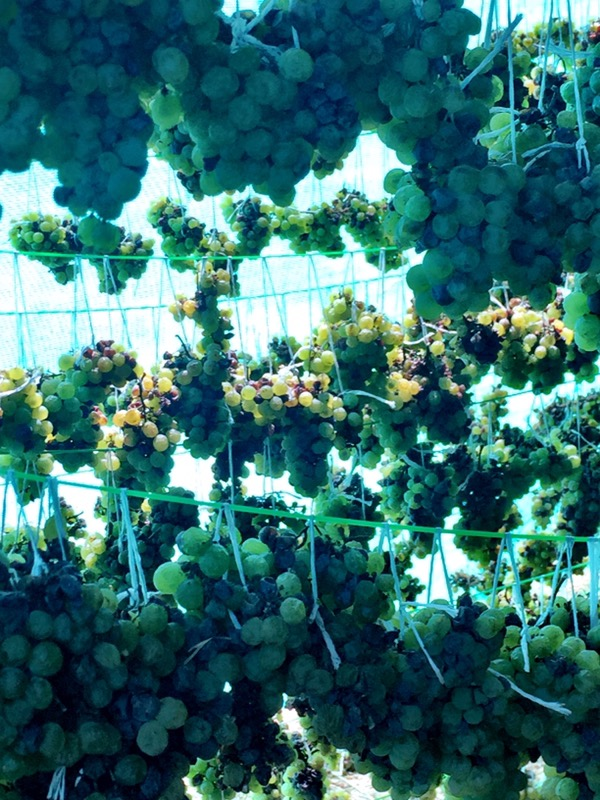 Chenin Blanc drying to made into a passito, Vallone Vineyards, winery, Nashik Valley, Maharashtra, India, Indian Wine