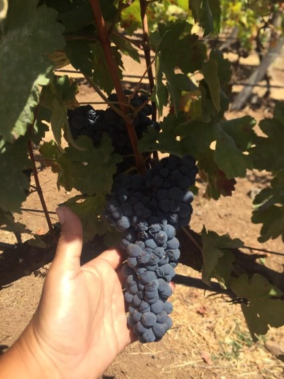 grapes at Grover Zampa vineyards, almost ready for harvest, Nashik Valley, Maharashtra, India, Indian wine