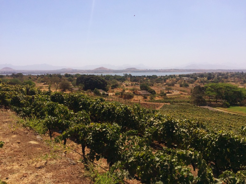 the vineyards of Grover Zampa, Nashik Valley, Maharashtra, India, Indian wine