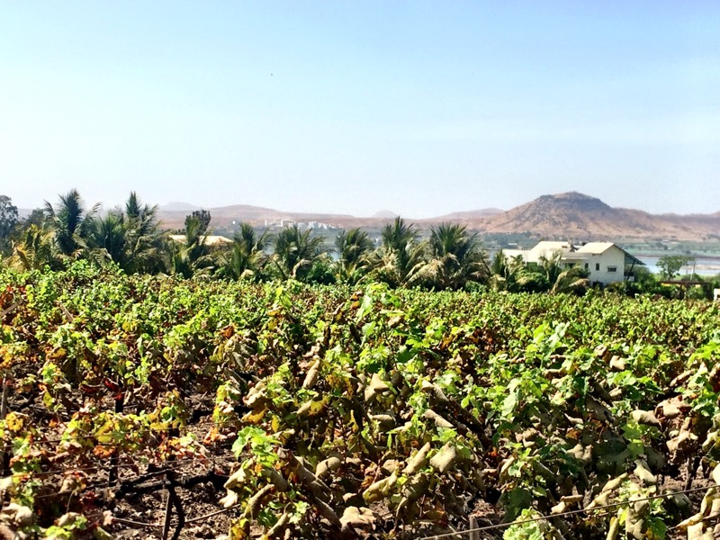 the vineyards of  Soma Vineyards and Resort, Nashik Valley, Maharashtra, India