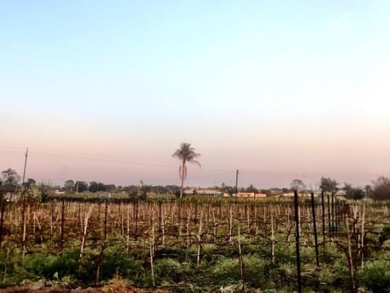 the vineyards, Nipha Winery, Nashik Valley, India, Indian wine, Maharashtra