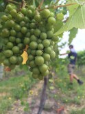 Cool climate, long ripening