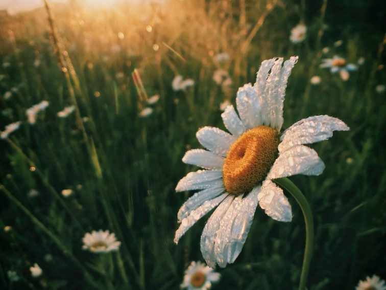 white daisy flowers morning routine