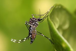 Aedes aegypti. Credit: Wikimedia Commons