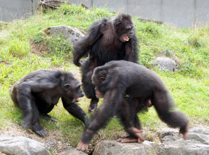 Chimpanzees seem to be able to care about the relationships of others in their community - for instance by trying to prevent social disruption. The female Chica on the left is attacked by the gamma male Dandy on the right. Dandy tries to build up an alliance with Digit, his son and alpha male, to jointly mob against Chica. Chica vocalizes submissively toward Digit (pant grunts) who ignores Dandy and positions himself in a dominant posture between the two, which leads to a de-escalation of the situation. Credit: Dr. Claudia Rudolf von Rohr