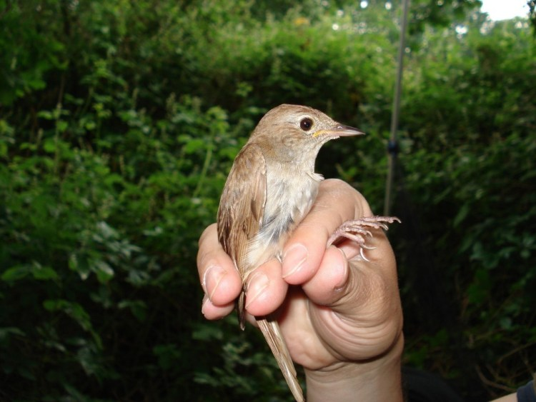 A nightingale. Credit: Conny Bartsch