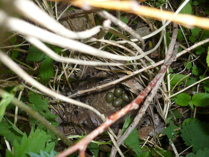 Nightingale eggs. Credit: Conny Bartsch