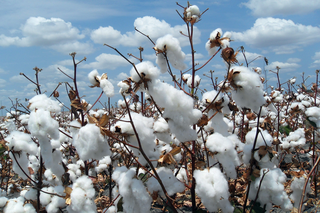 Cotton ready to be harvested. Credit: jayphagan/Flickr, CC BY 2.0