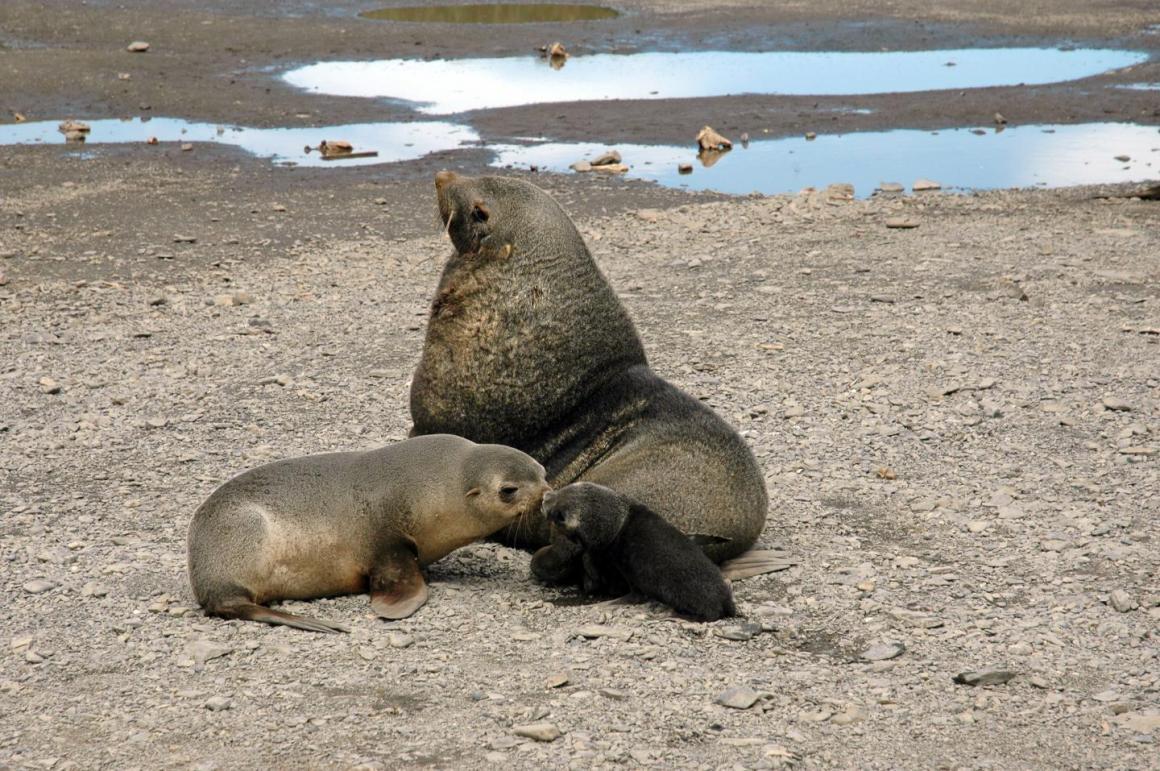 An Antarctic fur seal mother smells its pup. Credit: David Vaynor Evans, British Antarctic Survey