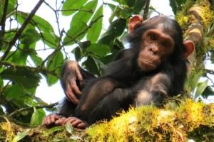 Chimpanzees. Credit: Kathelijne Koops.