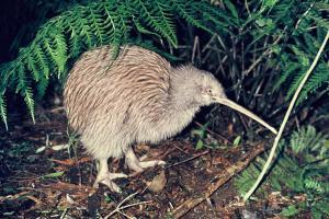 The kiwi bird. Credit: New Zealand Birds Online.