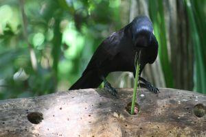 A New Caledonian crow using a pandanus leaf tool. Credit: Mick Sibley