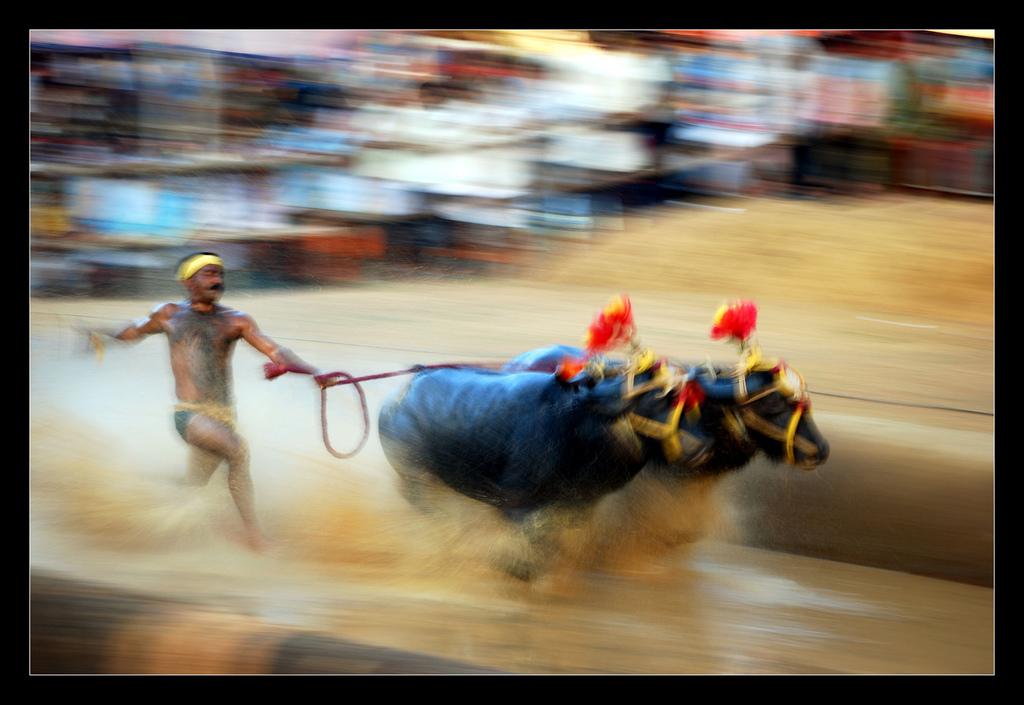 A kambala race. Credit: Arun Keerthi K. Barboza/Flickr CC 2.0