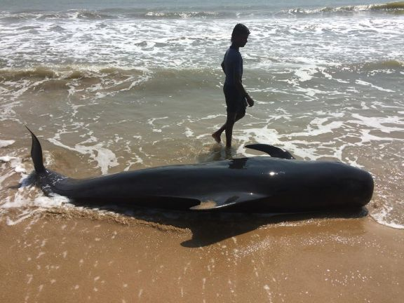 The body of a stranded pilot whale at Kallamozhi. Credit: Saravanakumar