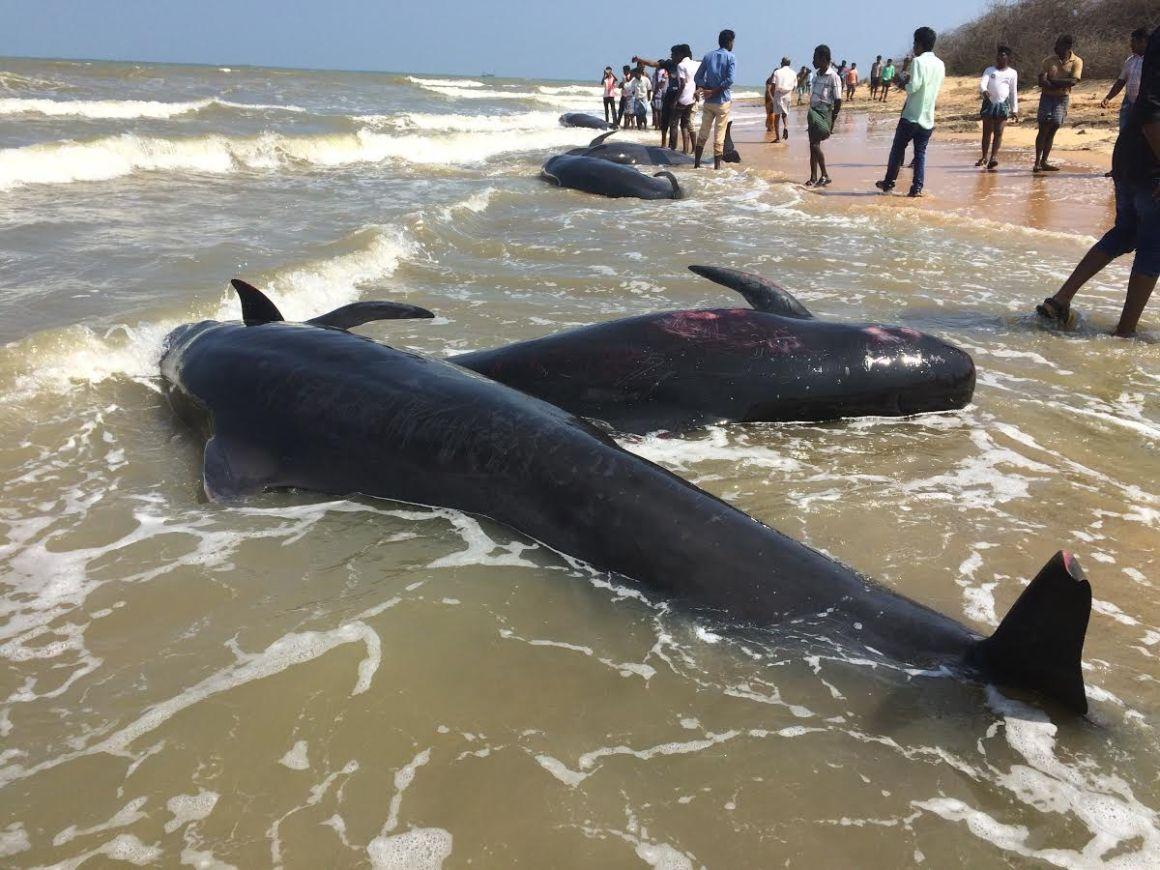 The bodies of three stranded pilot whales at Kallamozhi. Credit: Saravanakumar