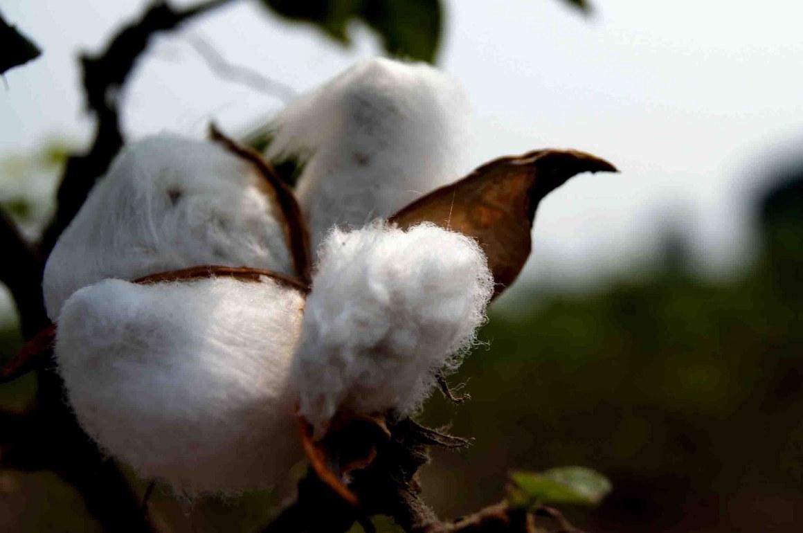 Bt cotton. Credit: Abhishek Srivastava/Flickr CC 2.0