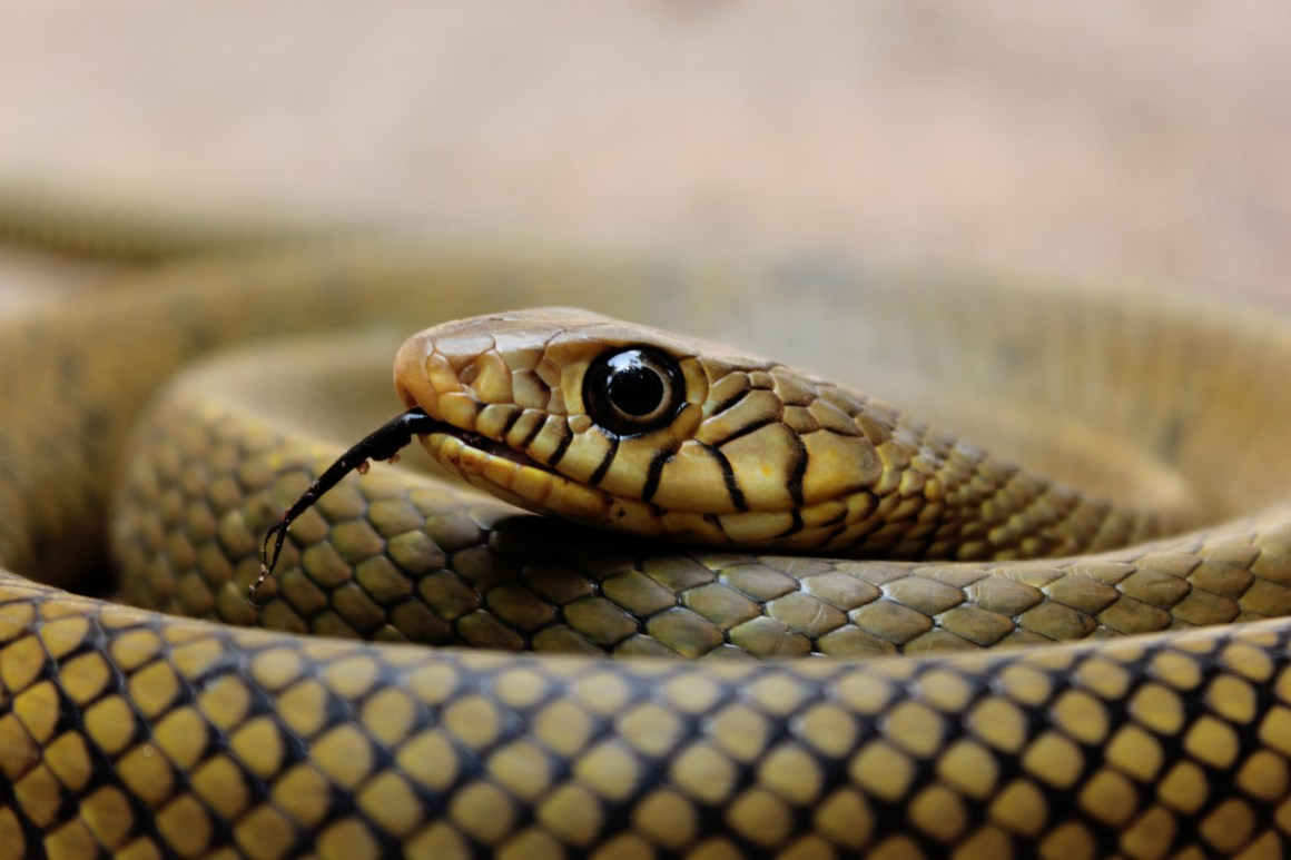 Close-up of a rat snake. Credit: gopuphotography/Flickr, CC BY 2.0