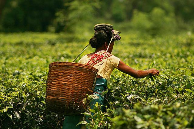 File photo of tea gardens in Assam. Credit: Akarsk Simha flickr cc