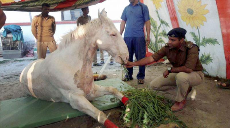 Shaktiman, after his operation. Credit: PTI