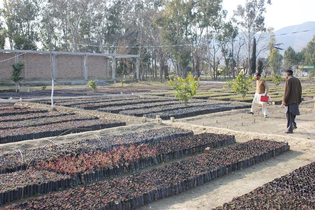 Chir pine and Kachnar saplings are ready for plantation in the Haripur nursery. Credit: Asim Ali/thethirdpole.net