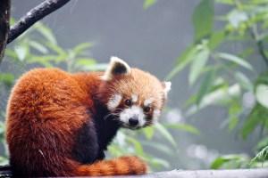 A red panda in western Arunachal Pradesh. Credit: Anil Cherukupalli, WWF India/thethirdpole.net