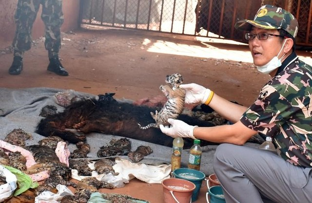 A dead tiger cub is held up by a Thai official after authorities found 40 tiger cub carcasses during a raid on the controversial Tiger Temple, a popular tourist destination which has come under fire in recent years over the welfare of its big cats, in Kanchanaburi province, west of Bangkok, Thailand June 1, 2016. Credit: Daily News/via Reuters