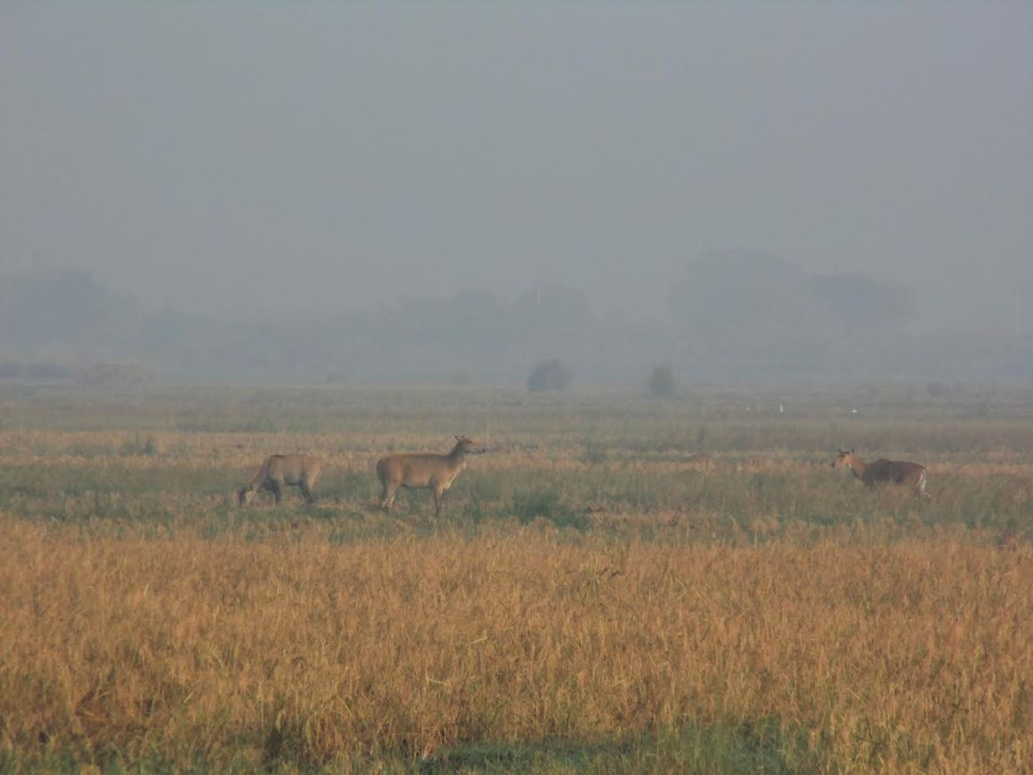 Nilgai feeding on crops. Credit: Neha Sinha