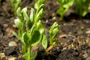 A pea plant. Credit: revstan/Flickr, CC BY 2.0