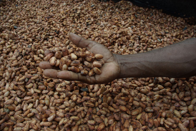Cocoa beans drying in the sun. Credit: Wikimedia Commons