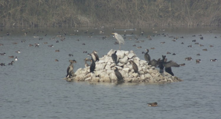 Migratory birds at a restored wetland in Yamuna Biodiversity Park, Delhi. Credit: Neha Sinha