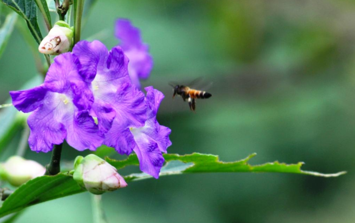 It is a wildflower supporting both humans and wildlife, acting as a source of food for larger herbivores, cattle and smaller insects alike. It provides generous amounts of both nectar and pollen to its pollinators (primarily honeybees). Credit: Aniruddha Dhamorikar