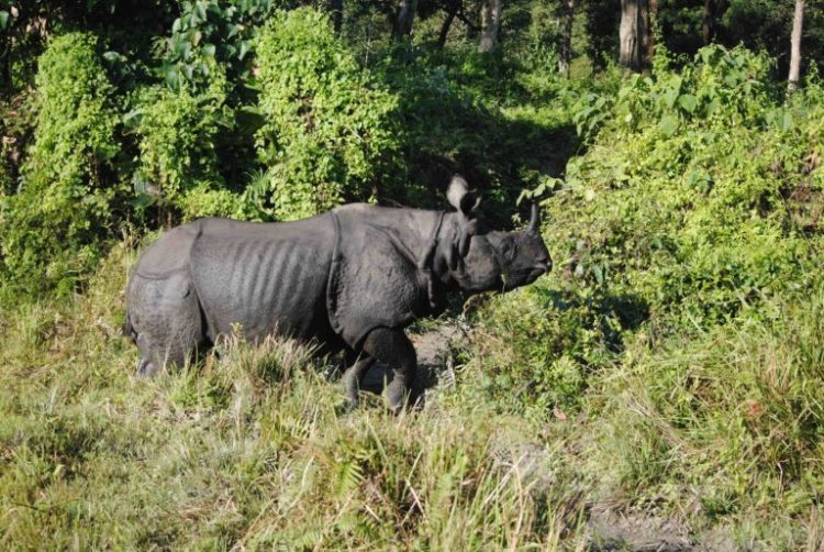 Greater one-horned rhinoceros in Jaldapara National Park in northern West Bengal. Credit: Udayan Dasgupta/Mongabay