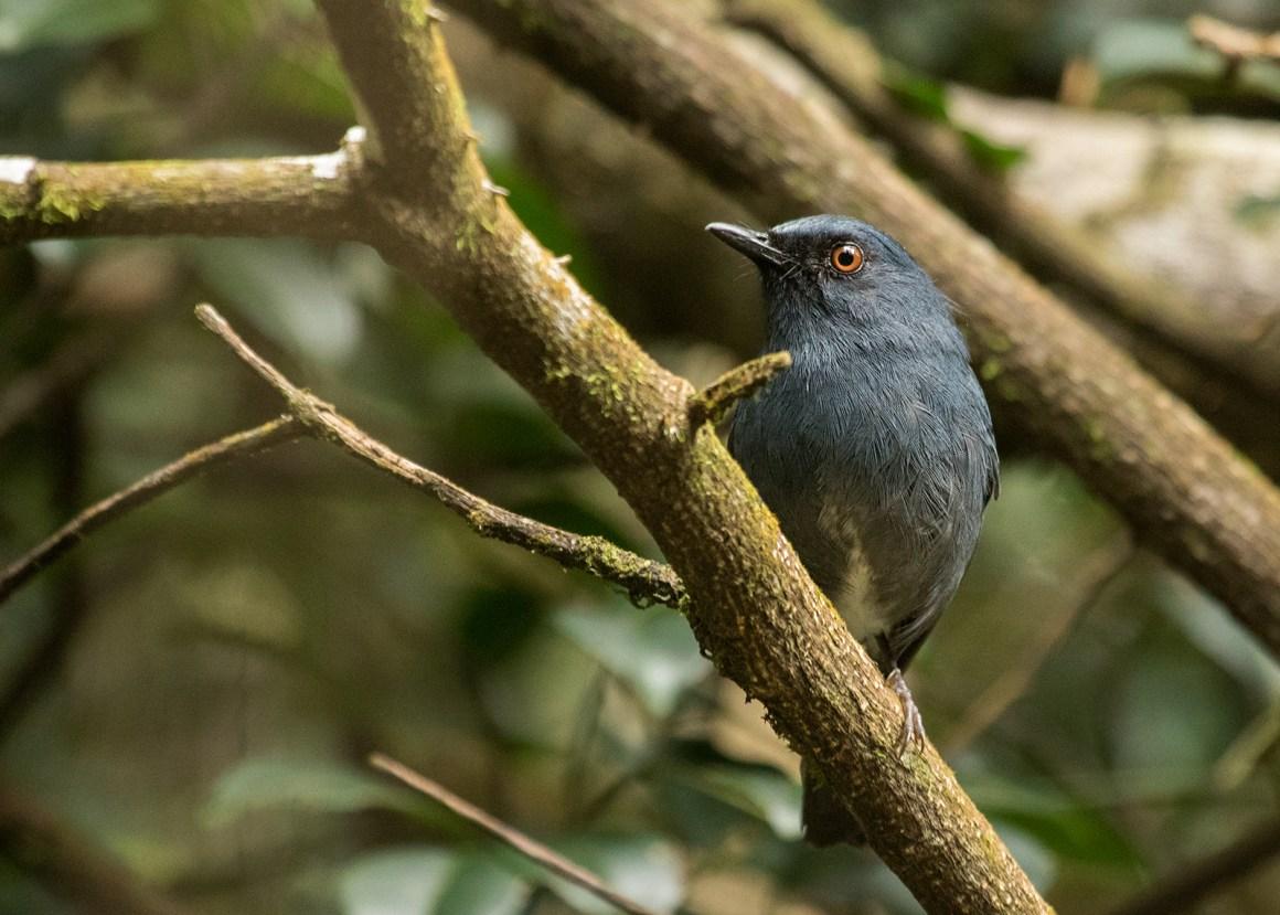 Sholicola ashambuensis. Credit: Shashank Dalvi