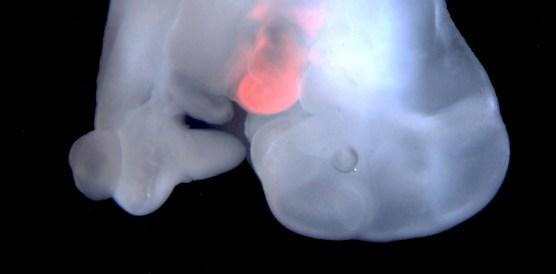 mouse embryo