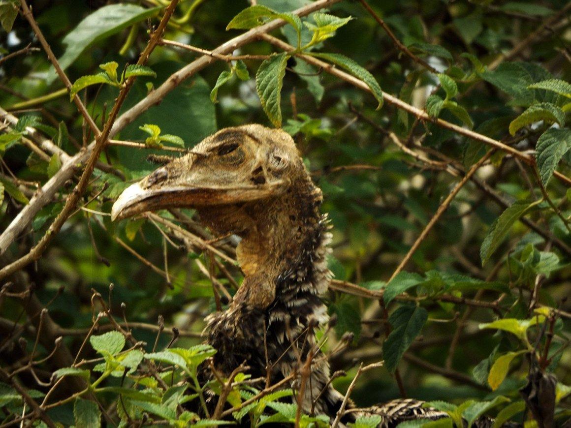 Dead vulture.