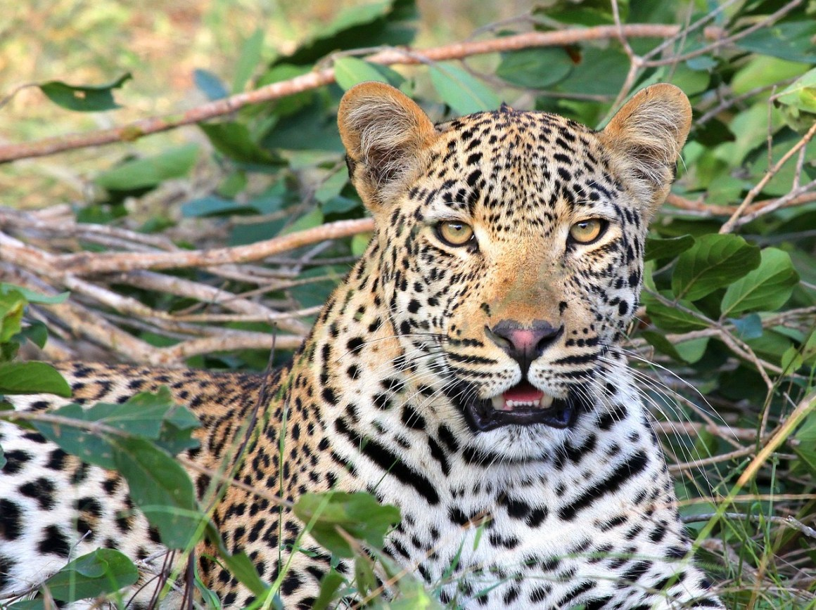 Despite managing an increasing number of wildlife incidents for four decades, the departments' personnel often act as if they have learned no lessons from previous debacles. A leopard. Credit: IrmaB/pixabay