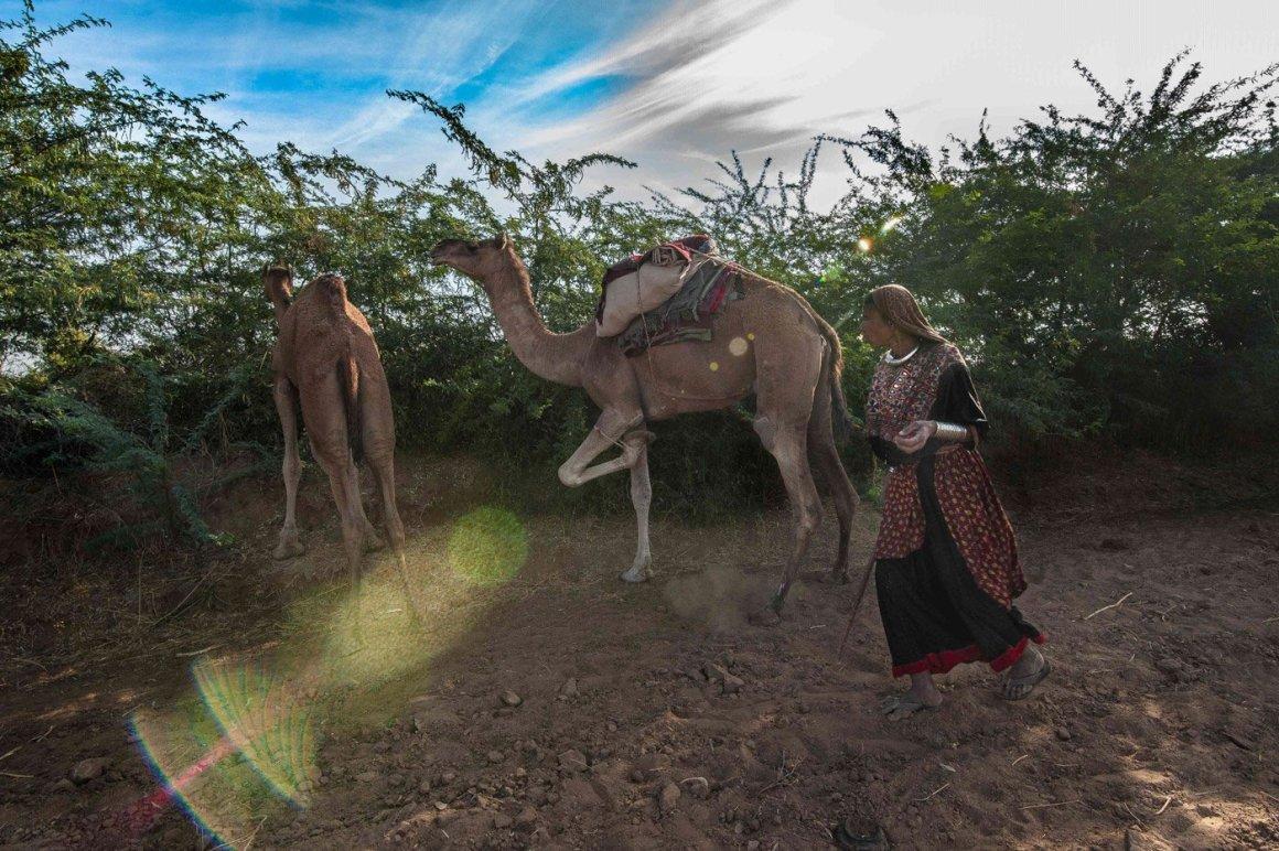 Jat Ameen Khatoon tries to control a grazing Kharai camel in Chirai Moti village in Bhachau taluka. Credit: Ritayan Mukherjee/PARI