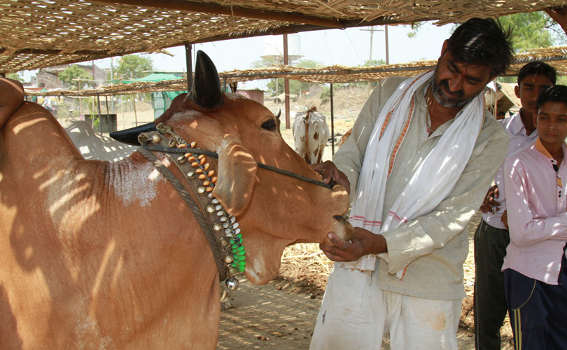 No milk without meat: A farmer examining an animal at Alipur village of Hinganghat tehsil in Maharashtra's Wardha district. Credit: Vivian Fernandes