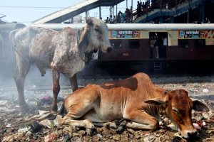 A local train passes by cows at a railway station in Mumbai on February 24, 2011. Credit: Reuters/Danish Siddiqui