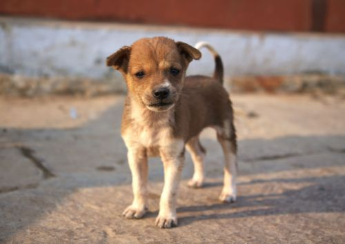 Indian Dog Breeds In Plush Siberian Husky All Big Dog Breeds